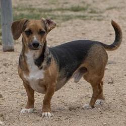 Colorado Springs Co Dachshund Meet Diesel A Pet For Adoption Pet Adoption Dachshund Adoption Dachshund