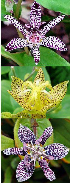 1 plant de tricyrtis empress