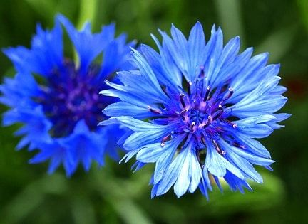 Cornflowers Dream Meaning And Interpretations Planter Des Fleurs Toutes Les Fleurs Beaux Jardins