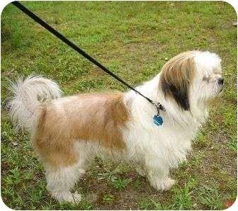 Shih Tzu Mix Dog For Adoption In So Burlington Vermont Benji