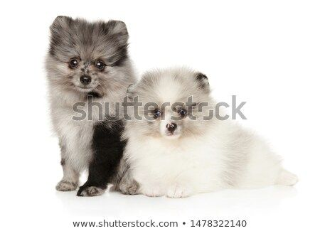 Stock Photo Two Marble Color Pomeranian Puppies Posing On White