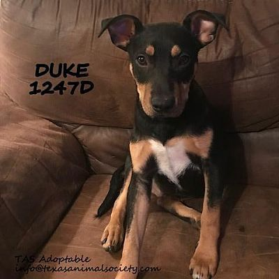 Spring Tx Terrier Unknown Type Small Meet Duke A Dog For