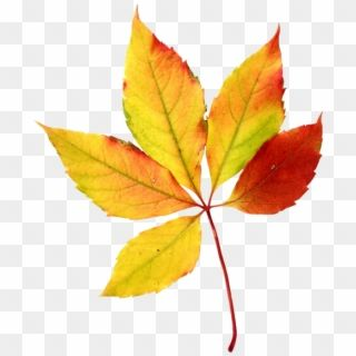 Maple Leaf Clipart 5 Leave Watercolor Fall Leaves Clipart Png Transparent Png Watercolor Leaves Watercolor Splash Png Leaves Vector