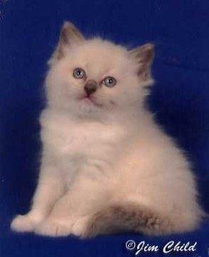 Welcome To Jazzmania Ragdolls Kittens Ragdoll Cat Kitten