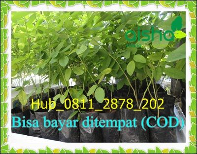 Hub 0811 2878 202 Jual Bibit Indigofera Jatim Jual Bibit Indigofera Jember Pohon