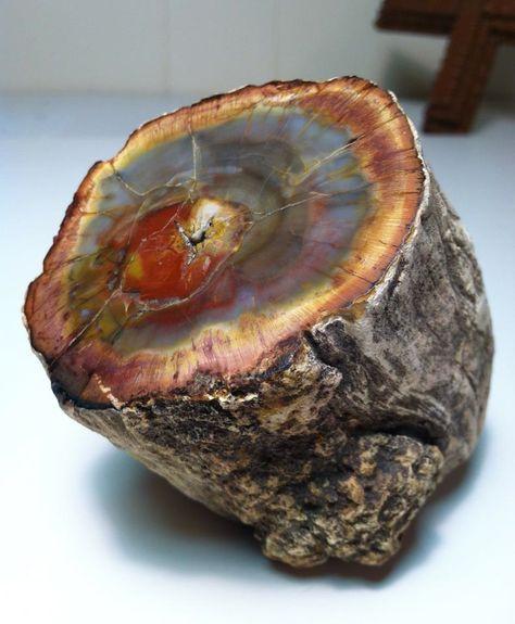 Fósil de Madera Petrificada,