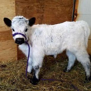 Mini Highpark Cow For Sale Minnesota Breeders Mini Cows Cows For Sale Cute Cows