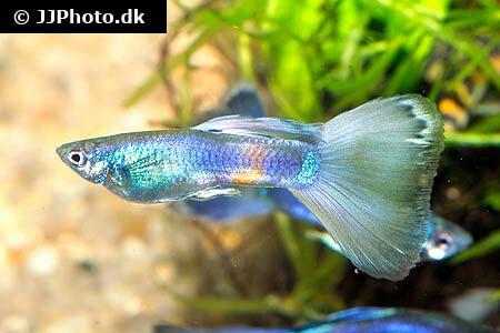 Guppy Fish Care Size Life Span Tank Mates Breeding In 2020 Guppy Fish Guppy Tropical Fish Tanks