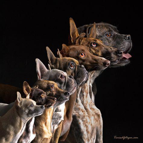 Dog Photography Dog Pack Puppies Great Dane French Bulldog