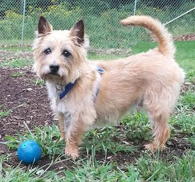 Col Potter Cairn Rescue Network Sunday Sweets Cairn Terrier