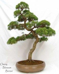 20 Bobs Bonsai Ideas Bonsai Bonsai Tree Bonsai Art