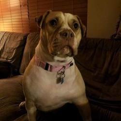 Lowell In American Bulldog Meet Hooch A Dog For Adoption
