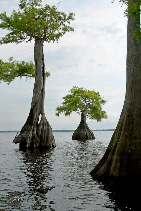 Some Type Of Cypress Tree A Bald Cypress Tree Does