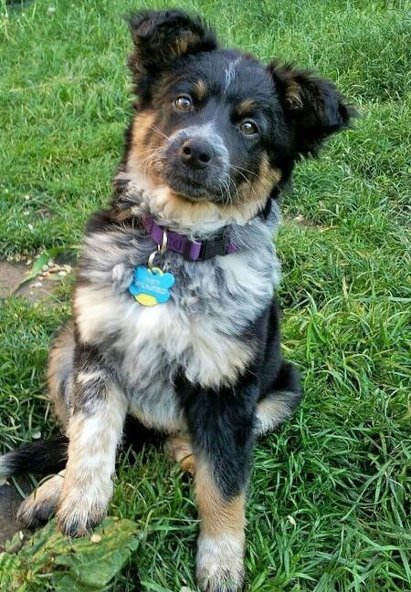 Texas Heeler Named Dusty Australian Shepherd Mix Mixed Breed