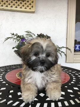 Morkie Puppy For Sale In Los Angeles Ca Adn 70891 On Puppyfinder