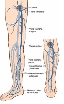 venesection of long / great saphenous vein - saphenous nerve, Human Body