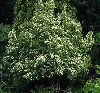 Empress of china cornus angustata dogwood tree the glossy empress of china cornus angustata dogwood tree the glossy leathery leaves of bright green remain right through winter then slough off after the sciox Image collections