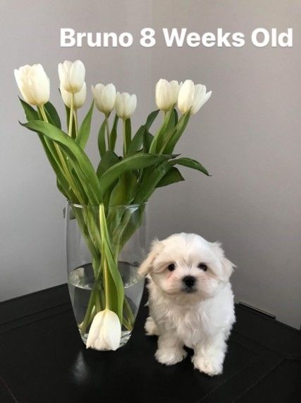 Beautiful Kc Registered Boy Puppy Adoption Maltese Puppy Maltese Breed