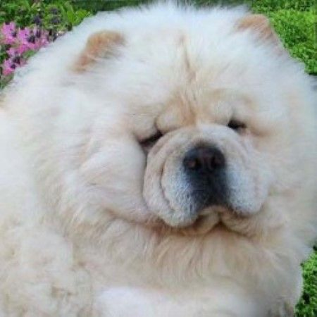 Intatto Chow Chows Chow Chow Puppy Chow Chow Dogs