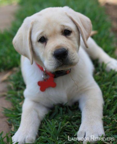 Labrador Labradorretriever Labradorofinstagram Labradorretrieverpuppies Labradorretrieverpups Labrador Retriever Labrador Puppy Labrador Dog