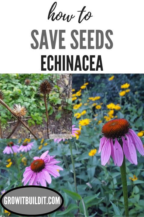 Every gardener with a hint of do-it-yourself ethos in them should save seeds from Echinacea (Coneflower) to propagate more plants! One single Echinacea plant can yield 500 or more seeds depending … Garden Seeds, Planting Seeds, Garden Plants, Gardening For Beginners, Gardening Tips, Organic Gardening, Flower Gardening, Garden Site, Box Garden