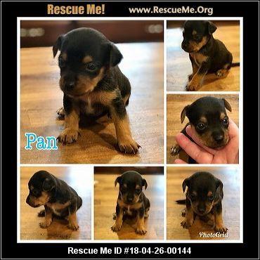 Georgia Yorkie Rescue Adoptions Rescueme Org Yorkie Dogs