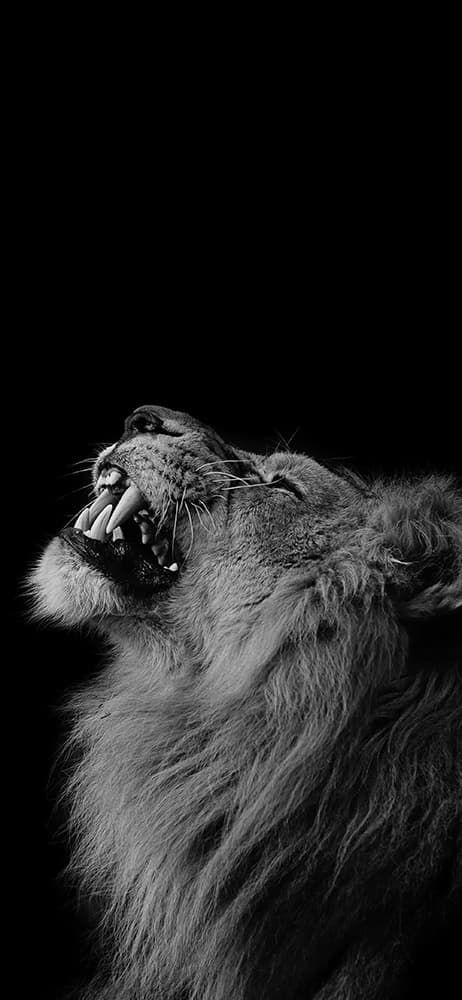 50 خلفية سوداء للايفون Lion Wallpaper Iphone Black And White Lion Lion Wallpaper