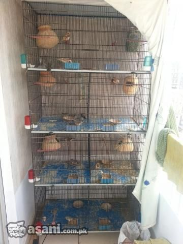 Cage Exhibition Finches In Karachi Finch Pet Birds Zebra Finch