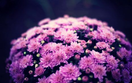 Chrysanthemum Indicum Wallpaper Hd With Images Chrysanthemum Flower Purple Flowers Chrysanthemum