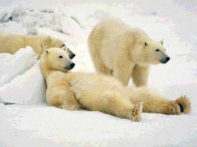 Fala Sério Urso Polar Ursos Animais Silvestres