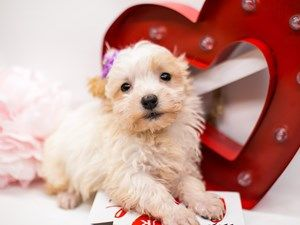 Dogs Puppies For Sale In Wichita Kansas Petland Wichita Pet Store In 2020 Puppies For Sale