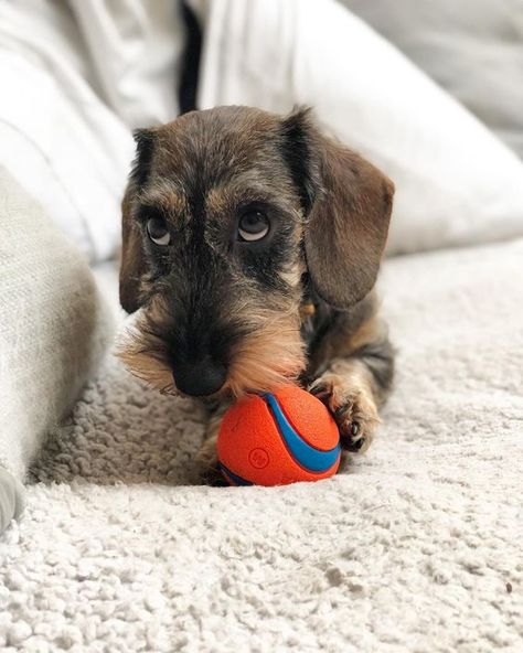 Wirehaired Dachshunds Wirehaired Dogs Wirehaired Sausage Dog Wirehaired Dachshund Puppy Wirehaired Weine Dog Allergies Wirehaired Dachshund Puppy Dachshund Dog