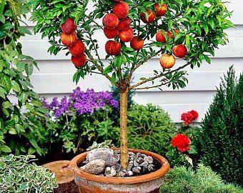 Mini Italian Plum Tree Grows Fruit Sooner Than A Large Tree Etsy