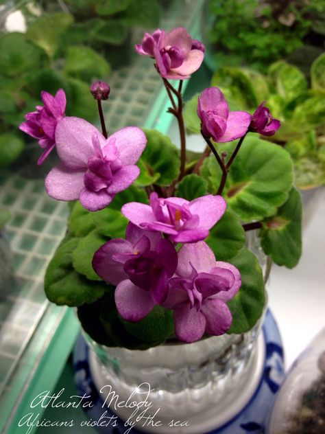 African violets by the sea