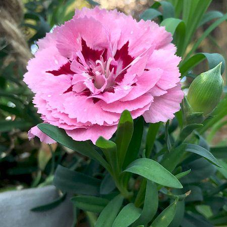 Meine Erste Dauerbluhende Nelke In Einer Blumenampel Auf Unserer Terrasse Mitte November 2017 Nelken Blumen Ampel Pflanzen