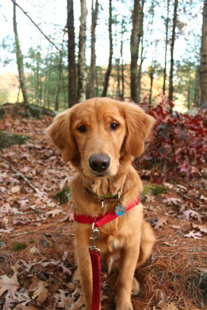 6 Months Old Today Golden Retrievers Golden Retriever Dog