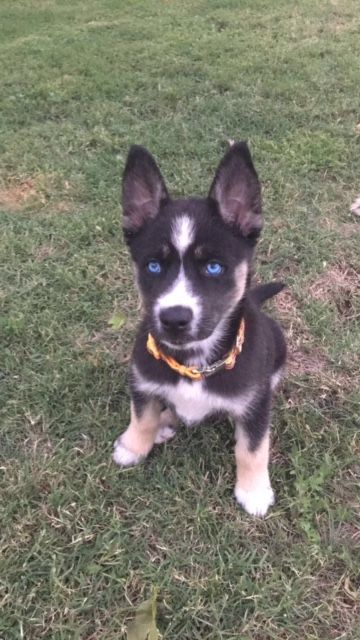 Alaskan Husky German Shepherd Dog Mix Puppy For Sale In Glendora