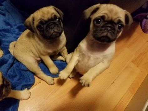 Pug Puppies For Sale 329 2puppies Com Pugpuppies Pug Puppies