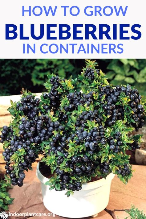 It's pretty easy to grow blueberries in containers with this simple growing guide. As long as you keep soil acidic enough, you should have berries soon. # container Gardening How To Grow Blueberries In Containers Home Vegetable Garden, Fruit Garden, Veggie Gardens, Edible Garden, Strawberry Garden, Potted Garden, Herbs Garden, Garden Types, Blueberry Plant