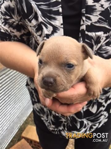 English Staffy Pups Purebred 1000 Available 16 06 2017 For Sale In Gatton Qld English Staffy Pups Purebred 1000 Available 16 06 201 Staffy Pups Pup Puppies