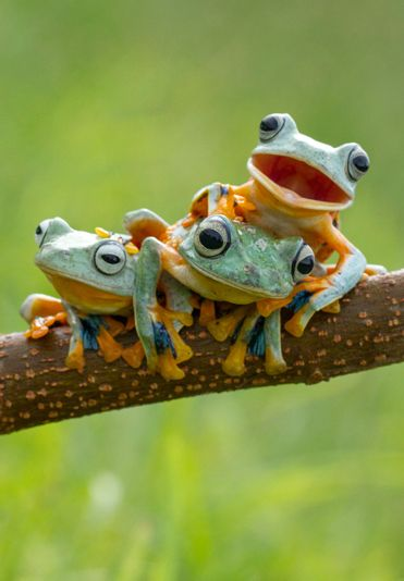 ~~Three Reinwardt's flying frogs, commonly known as the black webbed tree frog or the green flying frog, pose for the camera | Hendy MP/Solent~~