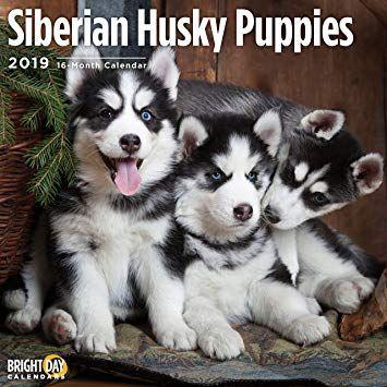 Siberian Husky Puppies For Sale Pomsky Puppies Pomsky Dog Husky With Blue Eyes