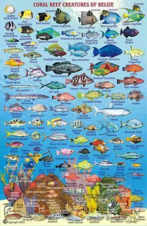 DIVING & SNORKELING: Belize Scuba Diving Snorkeling on Ambergris Caye, Caribbean