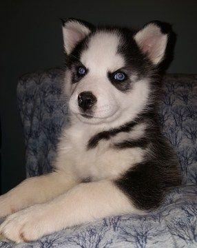 Litter Of 2 Siberian Husky Puppies For Sale In Bay City Mi Adn 57191 On Puppyfinder Com Gender Male Age 8 We Puppies For Sale Husky Husky Puppies For Sale