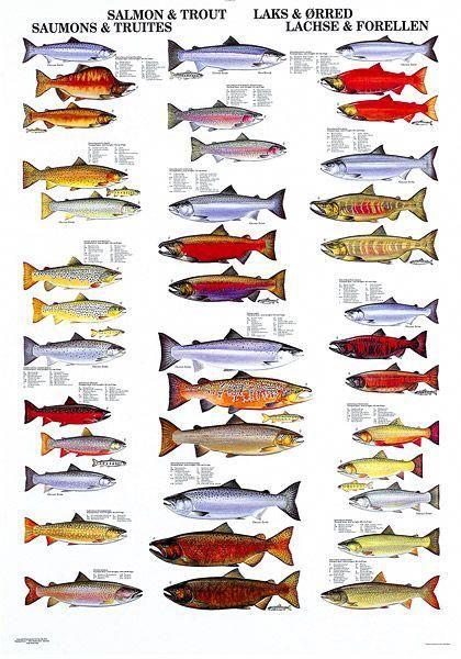 Salmon And Trout Beautiful Courtesy Of Scandinavian Fishing Year Book Www Scandfish Com Beginnerscarpfishingset Salmon Fishing Trout Fish Chart