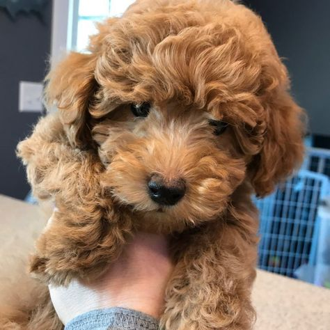 Teddy Bear Goldendoodle Teddy Bear Goldendoodle Puppy Teacup
