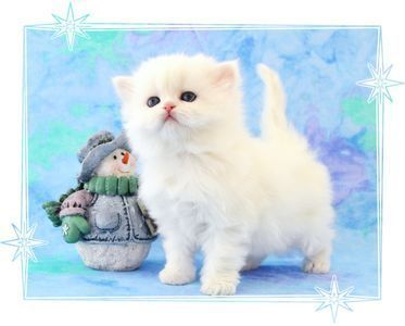 Tea Cup Persian Kittens For Sale Teacupkittens Persian Kittens