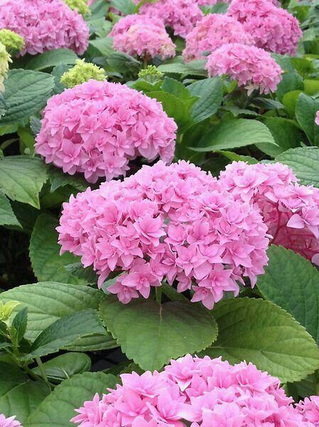 Pin By Pbear Stefanics On Pink Hydrangeas In 2020 Bonsai Flower Hydrangea Flower Flower Seeds