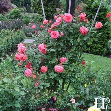 America Climbing Roses Plants Rose
