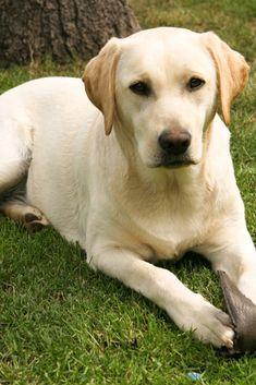 Yellow Labrador Retriever On Green Grass Lawn Labradorretriever Golden Retriever Labrador Labrador Retriever Facts Labrador Retriever